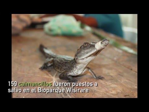 159 caimancillos fueron puestos a salvo en el Bioparque Wisirare