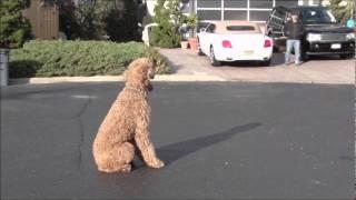 Long Island Dog Training,Standard Poodle Training