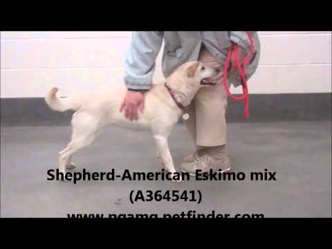 AN ADORABLE AND SWEET 1 YR OLD FEMALE SHEPHERD & AMERICAN ESKIMO MIX (A364713) (видео)