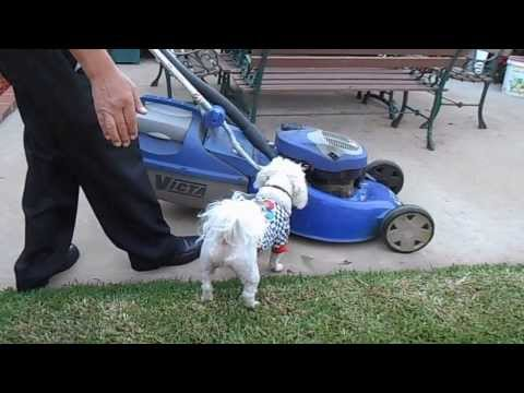 Maltese Terrier Roby Barking At Lawn Mower