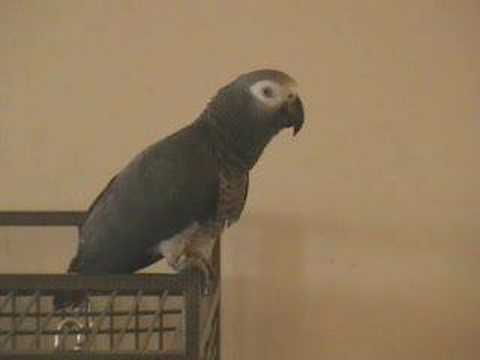 Talking African Grey Parrot: An intelligent conversation with Tui,