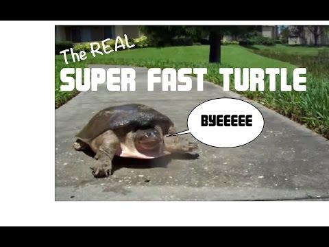 SUPER FAST TURTLE Original