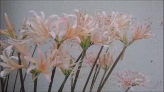 彼岸花  インスト  楽譜動画