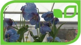 Meconopsis - die blaue Mohnblume