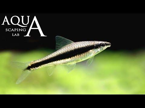 acquariofilia - crossocheilus