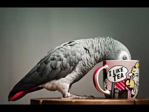 Попугай Жако. Юмор и развлечения. Домашние животные. (видео)
