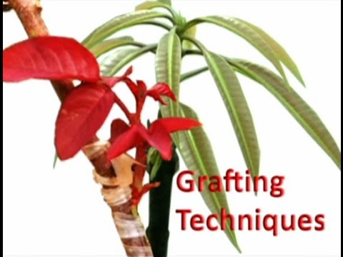 techniques - Full length Documentary film 'Grafting Techniques' by Shramajeevi. http://www.shramajeevi.com Also visit http://images.shramajeevi.com and http://contacts.sh...