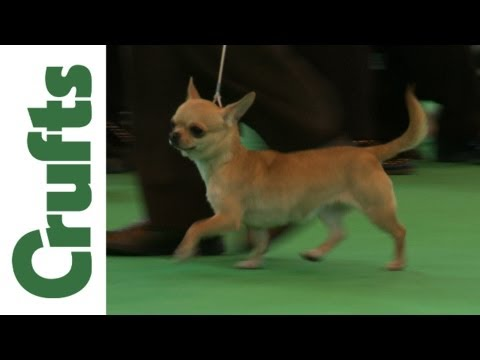 Crufts 2012 Chihuahua (Short hair) Best of Breed