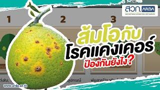 ส้มโอปลอดโรคแคงเคอร์ด้วยระบบรับรองแปลง