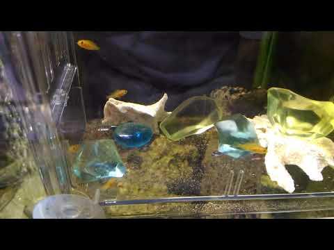 熱帯魚の赤ちゃん シクリッド カエルレウス