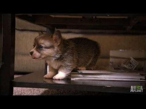 Corgi Pups Learn to Climb %7C Too Cute%21