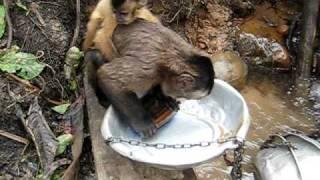 Обезьяна любит мыть посуду
