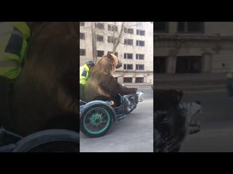 Karhu istuskelee motskarin kyydissä – Vain Venäjällä (video)