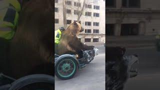 animale ursul pe motocicleta prin oras