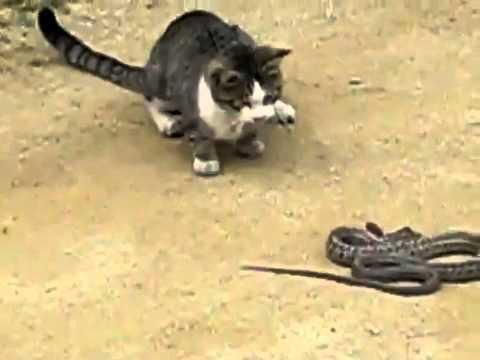 Kucing lawan ular -siapa menang?  {kucing.my}