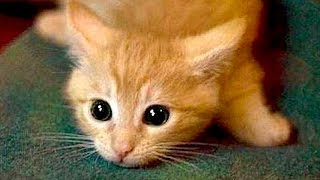 Video Are ORANGE CATS the FUNNIEST CATS? - Super FUNNY COMPILATION that will make you DIE LAUGHING MP3, 3GP, MP4, WEBM, AVI, FLV Maret 2018
