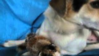 Patches Bonadio - Hound / Foxhound / Mixed (short coat) Dog For Adoption