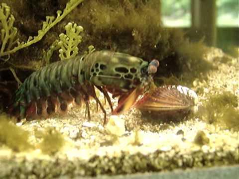 蝦子慢慢靠近蛤蠣時還覺得畫面十分和諧,突然牠使出了「螳螂拳」讓所有人全都目瞪口呆!
