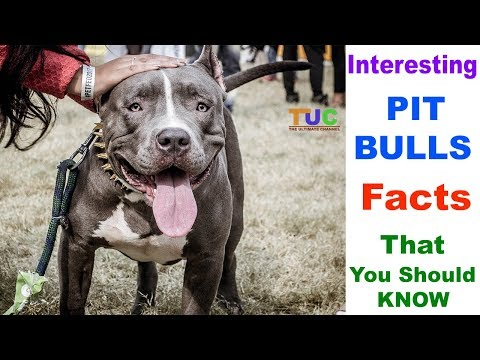 Interesting PIT BULLS Facts You Should Know : TUC : The Ultimate Channel