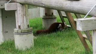 Fukuchiyama Japan  City new picture : #4 Oct 2016 Red Panda at Fukuchiyama zoo, Kyoto, Japan