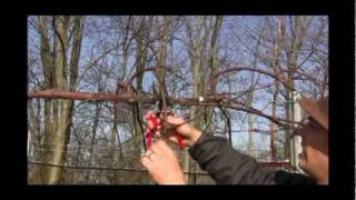 http://gurneys.com/grape-vines/c/65/ - In this video, Felix from Gurney's discusses how to care for your Grape Vines. How to prune...
