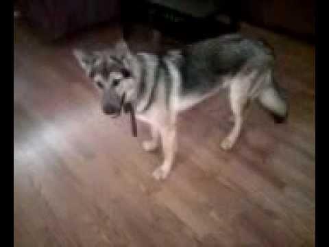 Bay, my German Shepherd-wolf hybrid at 7 months 85 lbs.
