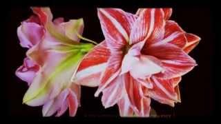 """Elsiane """"Mend"""" - Flowers Timelapse"""