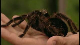 Дикобразы и пауки-птицеяды