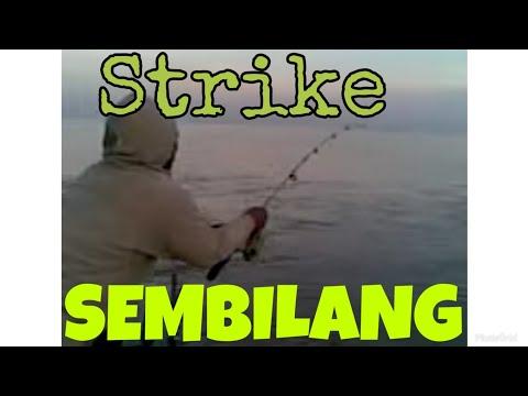 Sensasi Strike Sembilang Besar (Cak pi'i ujungpangkah Gresik), Catfish.3gp