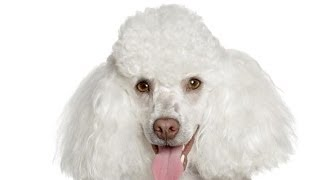 Poodle: Basic Training