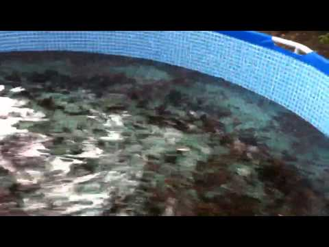 Aquaponics Blue Crab feeding in backyard above ground pools