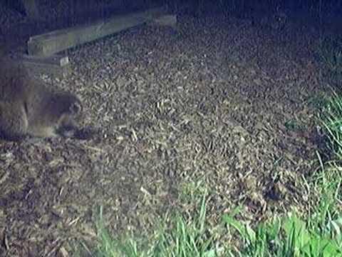 Raccoon digging in my yard