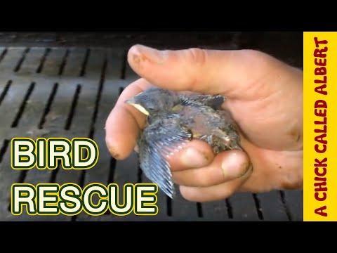 Saving a Baby Swallow