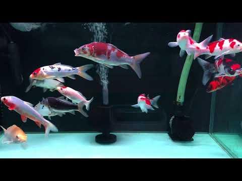 錦鯉水槽飼育