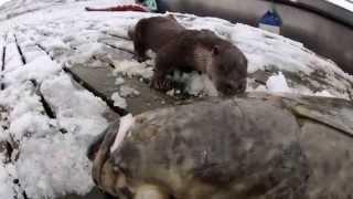 Otter läßt sich Heilbutt schmecken (andrebessaker)