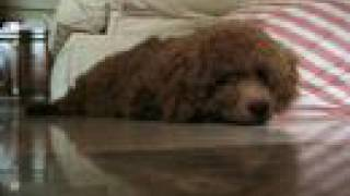 Toy Poodle Training