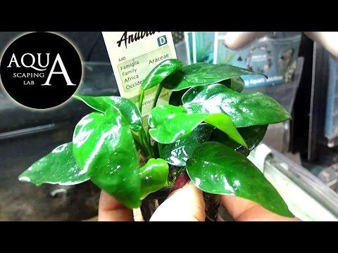 acquariofilia - anubias barteri
