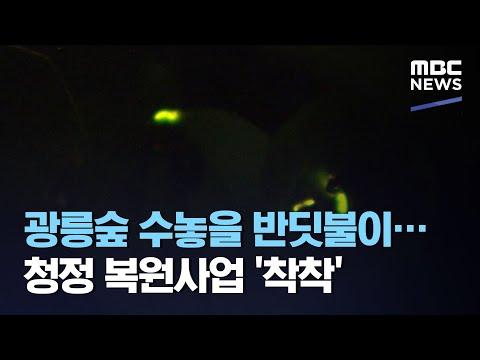 광릉숲 수놓을 반딧불이…청정 복원사업 '착착' (2020.10.20/뉴스투데이/MBC)