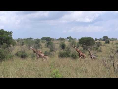 Giraffe Crossing, Murchison Falls National Park, Uganda, Travel Explore Africa Ltd