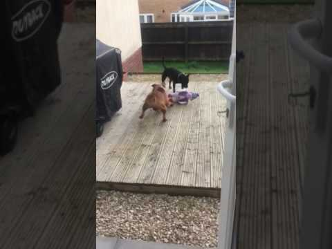 Staffordshire bull terriers find a toy
