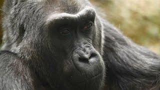 Ältester Gorilla der Welt: Colo ist friedlich eingeschlafen