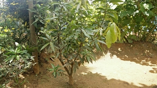 How to replant a mango tree effectively.Learn how to replant a mango tree effectively and safely on my channelhttps://goo.gl/VC8gcB1. Take a pit of 1 to 1.5 feet depth2. Add bio fertilizer to it3. Mix fertilizer thoroughly with the soil4. Keep the plant steady and upright5. Make sure the plant is properly rooted6. Fill the pit with soil7. Provide adequate waterIf you enjoyed my video hit that like button and subscribe to my channel