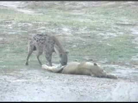Hyena Drags a Dead Lion - Botswana Africa