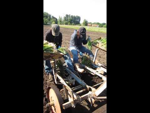 planteuse - plantation de poireaux à la planteuse.