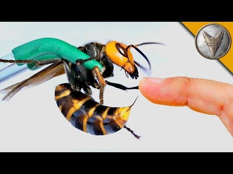 STUNG by a GIANT HORNET!