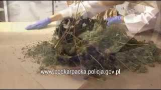 Film do artykułu: Wytwórnia marihuany pod...