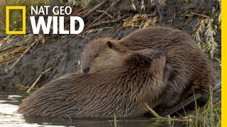 Animals That Mate For Life | Nat Geo Wild by Nat Geo WILD