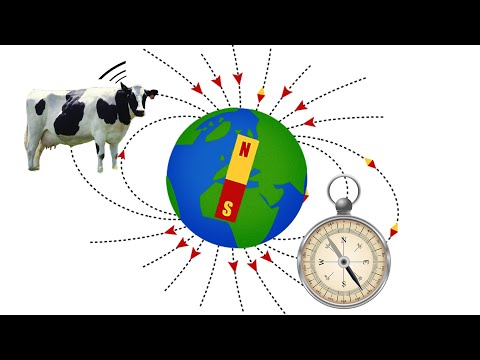 Cows Acting Like Compasses – creation.com