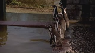 Police hunt for penguin missing from German zoo