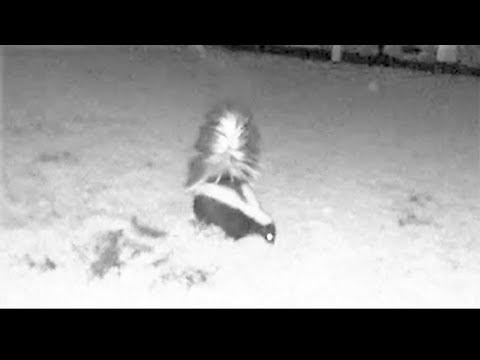 Skunk caught on security camera digging up backyard